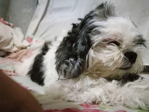 Furbaby Shih Tzu Pets
