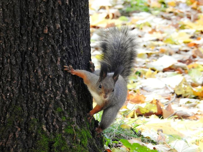 Squirrel Autumn🍁🍁🍁 Animals In The Wild Tree Fifty Shades Of Yellow Nature Forest Colors Of Sankt-Peterburg Sankt-Petersburg Russia