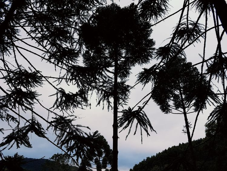 Tree Silhouette Forest Nature Pinaceae Low Angle View Tree Area Sky Outdoors No People Tree Trunk Beauty In Nature Travel Destinations Palm Tree Day Branch Shades Of Winter