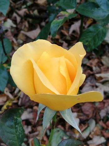 Rose - Flower Flower Yellow Petal Flower Head Nature Fragility Plant Close-up Beauty In Nature Day Freshness No People