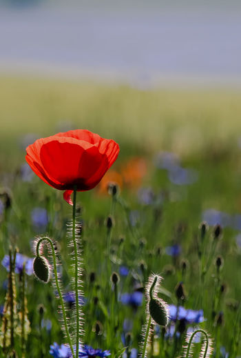 Beauty In Nature Blooming Blue Close-up Day Field Flax Flower Flower Head Focus On Foreground Fragility Freshness Grass Green Color Growth Nature No People Outdoors Petal Plant Poppy Red