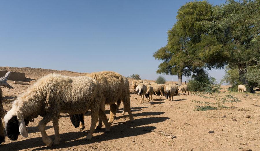 Desert India Sheepherd Travel Animal Themes Camel Jaisalmer Mammal Nature Obrigado Outdoors Rajasthan Sand Sand Dune Sheep Sheeps Sunlight Sunset Thar Desert Tree Walking