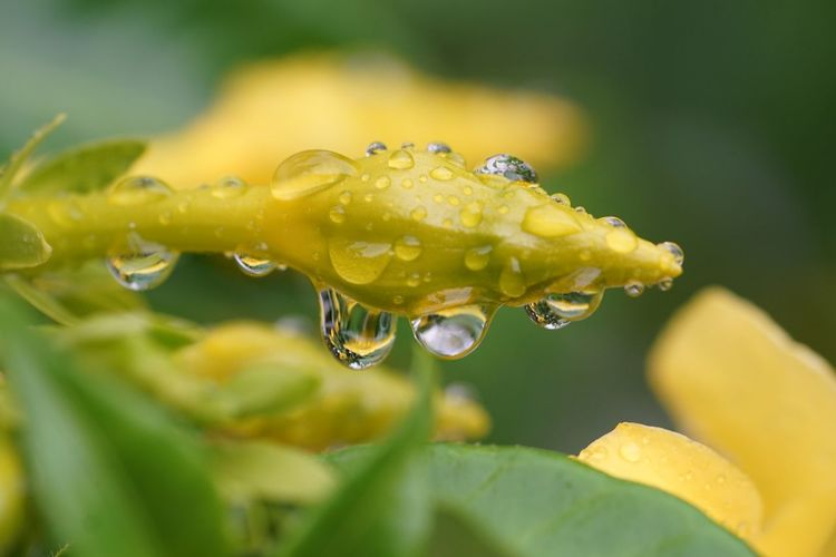 Rain drops keep falling EyeEm Selects Drop Water Wet Plant Close-up Yellow Freshness Flower Vulnerability  Selective Focus Fragility Flowering Plant Leaf Nature Dew Beauty In Nature Plant Part No People Growth Rain