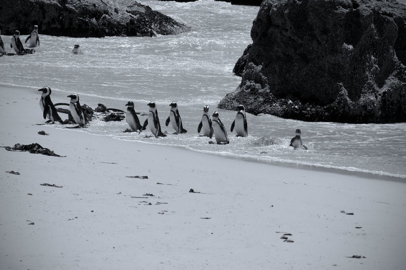 High Angle View Of Penguins At Beach