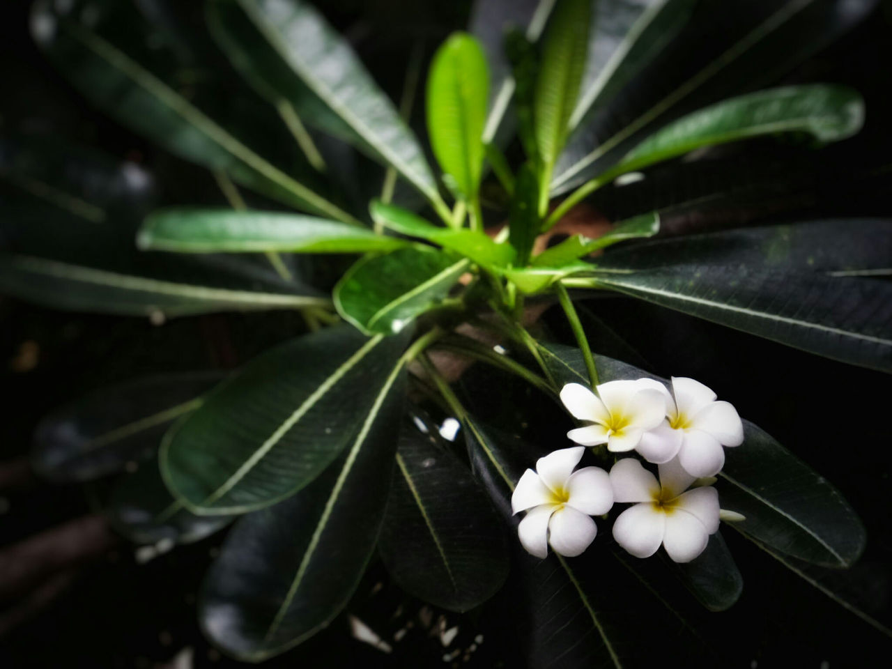 Close-Up Of White Frangipanis Blooming On Plant