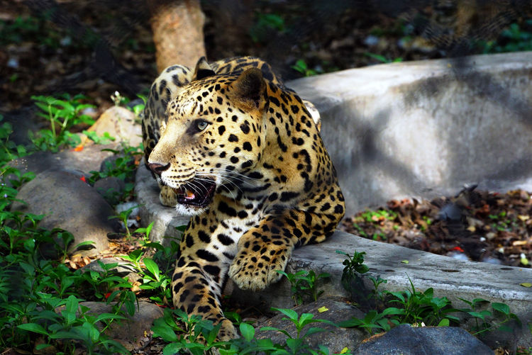 A Jaguar behind the cage in a Zoo. Animal Animal Markings Animal Themes Animal Wildlife Animals In The Wild Big Cat Carnivora Cat Day Feline Forest Jaguar Animal Leopard Leopards Mammal Mouth Open Nature No People One Animal Outdoors Portrait Tree Vertebrate Whisker