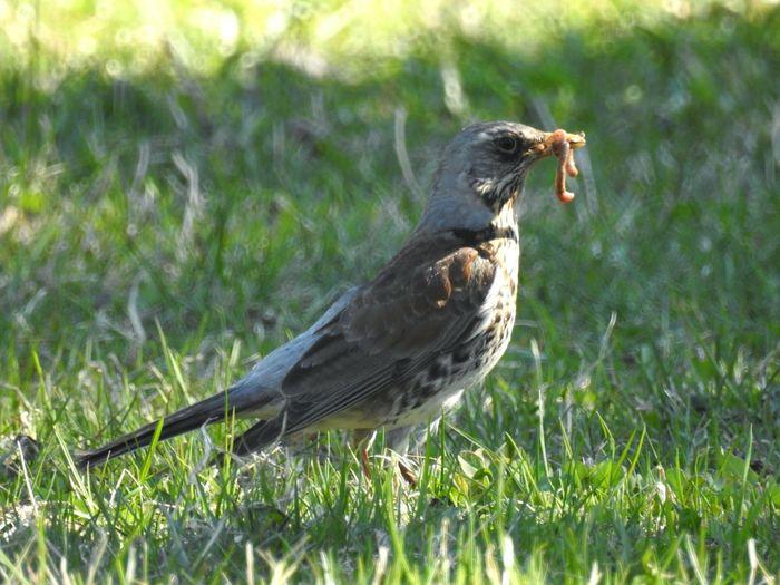 Bird Eating Worm On Field