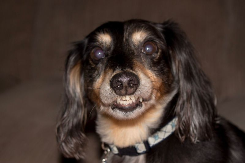 EyeEmNewHere Dog Pets Domestic Animals One Animal Looking At Camera Portrait Mammal Animal Themes Indoors  Close-up No People Day Dachshund Happy Happy Anímals Happy Animal Smile Simle😉 And Simle 😊😊