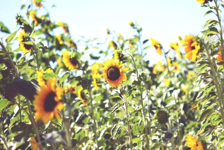 Sunflower patch Sunflower Sunflowers Sunflowerpatch Sunflowers Field