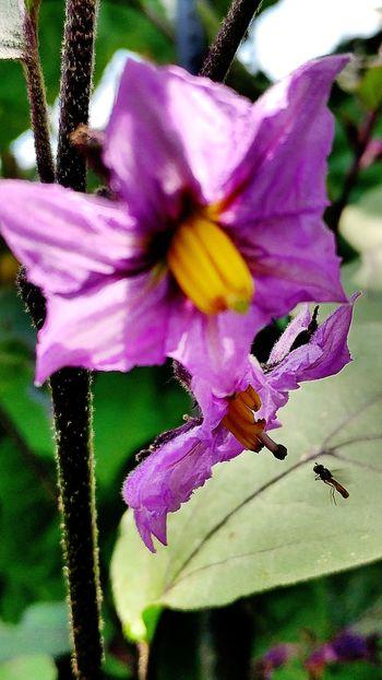 Eggplant Horticultural Crop Vegetable Plant Vegetable FlowerFlowerporn