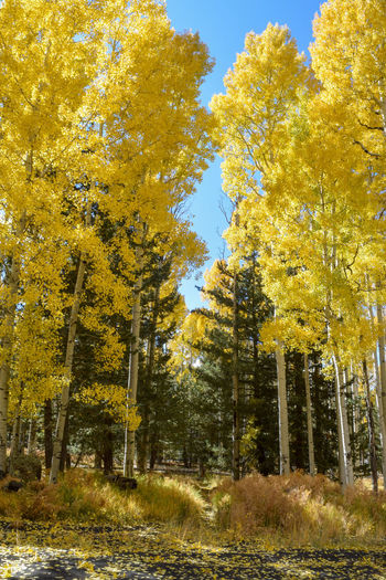 Low angle view of yellow trees on field during autumn