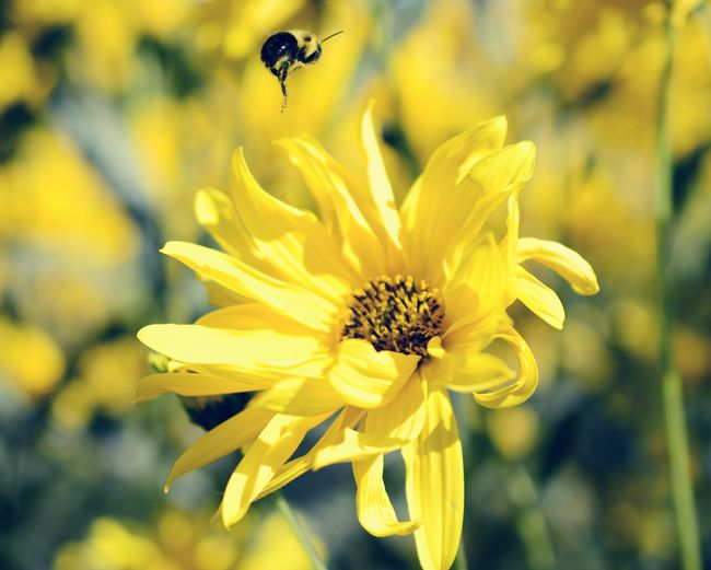Close-up of bee pollinating yellow flower
