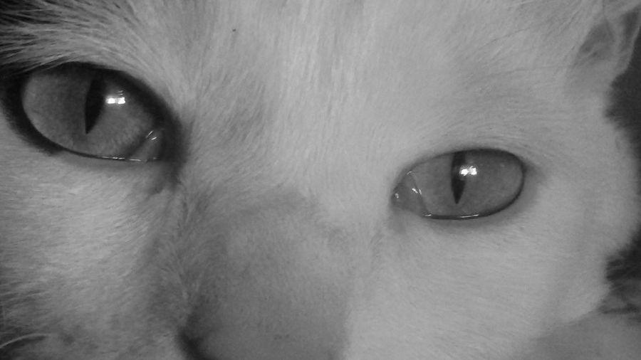 Tigre Cats Beautiful Hello World Heart Lion Heart Look Me In The Eyes Eyes Ojos Blackandwhite Blackandwhite Photography