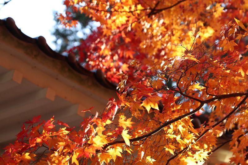 広島 紅葉 Fall Nature Orange Color