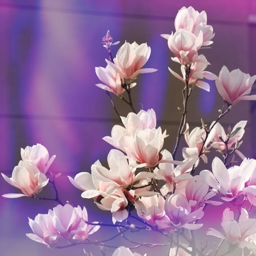 Flowering Plant Flower Freshness Beauty In Nature Fragility Plant Vulnerability  Growth Flower Head No People Pink Color Nature Focus On Foreground Botany Close-up Springtime Purple