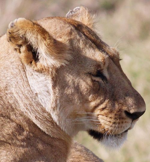 Lioness Animal Themes Close-up No People Outdoors Lion - Feline Travel Photography Kenya Rickeherbertphotography Wanderlust