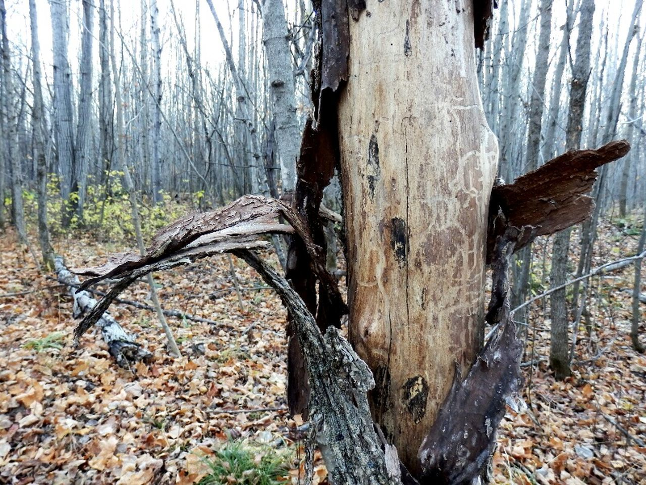 tree trunk, tree, forest, woodland, nature, wood - material, deforestation, day, log, no people, outdoors, tree stump, branch, close-up, dead tree