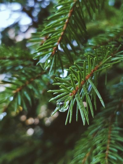 Pinaceae Pine Tree Green Color Close-up No People Nature christmas tree Tree Focus On Foreground Christmas Growth Beauty In Nature Outdoors Spruce Tree Day