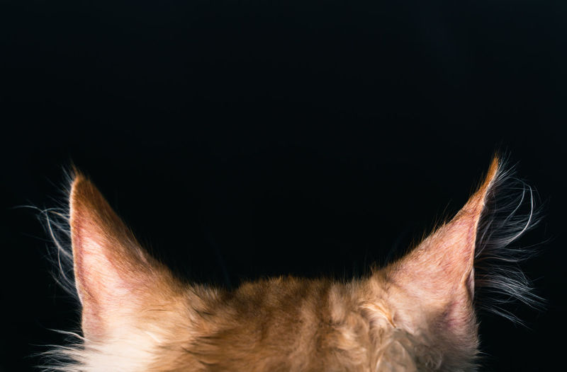 Close-up of cat against black background