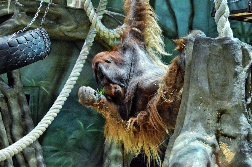 Monkeys Animal Themes No People Mammal Close-up Day Orangutans Outdoors Nature Orangutan Monkey Monkeys One Animal Animal_collection Animal Photography Zoo
