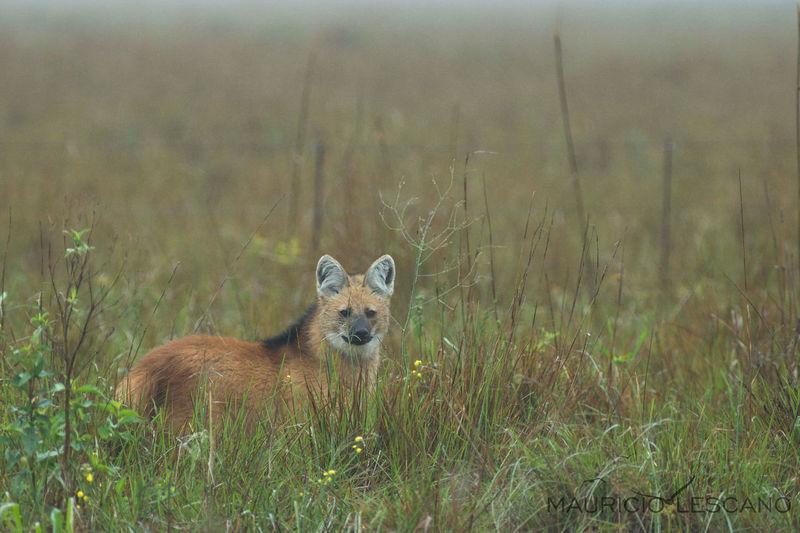 Aguará Guazú Animal Argentina Natural Corrientes En Peligro De Extinción Esteros Del Ibera Libertad Naturaleza Urbana Vida Salvaje First Eyeem Photo