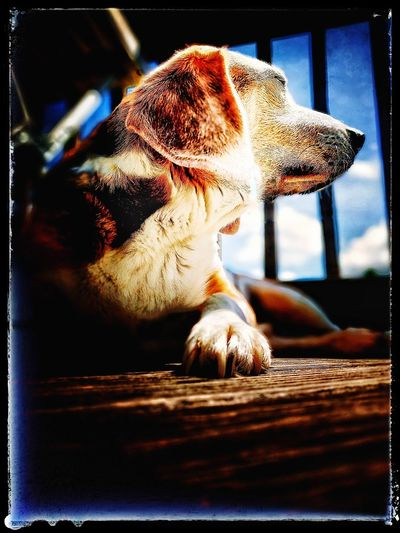 Dog Pets Dog Close-up Lying Down No People One Animal Old Dogs Rule Beagles  Beaglelovers
