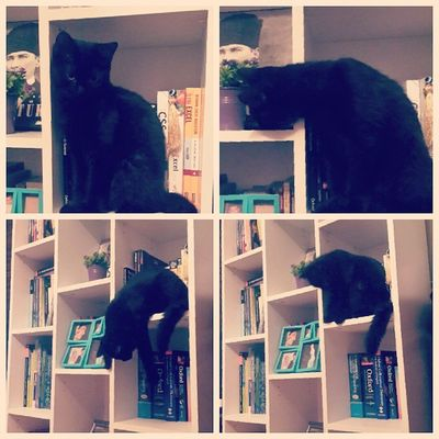 Bookworm. Librarian cat. 100happydays day 15 Instacat Instagood Instamood Love Cats Cat Catlover Ilovemycat Adorable Photooftheday Picoftheday Cute Bestoftheday Igers Catoftheday Home Sweet Blackcatsofinstagram Blackbabies BLackCat Bookworm Bookworms Kitap kitapkurdu librarian