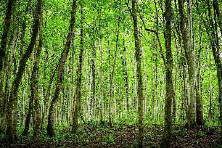 美人林。名に恥じぬ、癒しの異空間。空気がもう違う。 Green Color Plant Growth Tree Land No People Forest Beauty In Nature Nature Trunk Tranquility Tree Trunk Day Outdoors WoodLand Environment