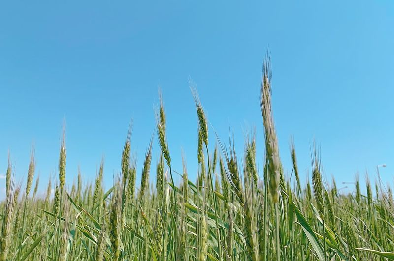 Close-up of stalks in field against clear blue sky