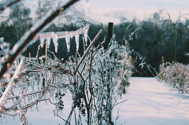 Last picture of the ice storm Photography Photographer Winter Landscape Myphoto L4l Instagood VisitNovaScotia Novascotia Thankyoucanada Tree Ice Snow Nopower Canon CanonT5 Vines Wine