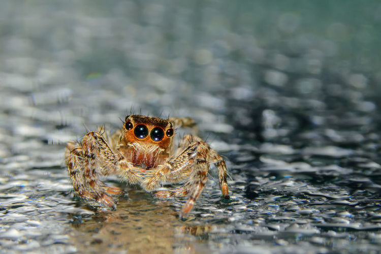 Close-up of jumping spider on glass