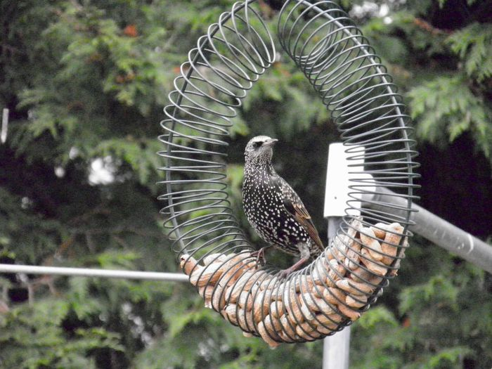 Starling at the feeder birds of EyeEm beauty in nature outdoors animal themes focus on the foreground No People
