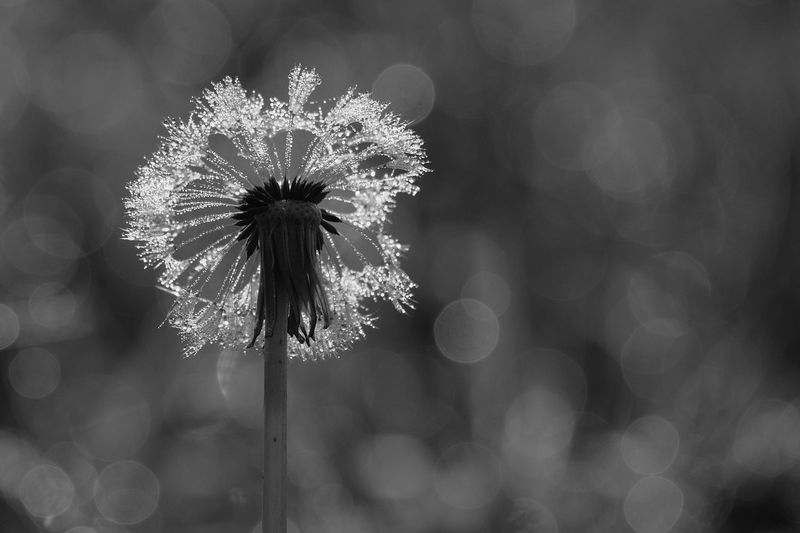 Flower Flowering Plant Freshness Fragility Plant Vulnerability  Beauty In Nature Inflorescence Flower Head Close-up Focus On Foreground Growth Nature No People Petal Outdoors Plant Stem Dandelion Day Softness Dandelion Seed Sepal Dandelion Seed Beauty In Nature Morning Dew Dew Drops Morning Dew