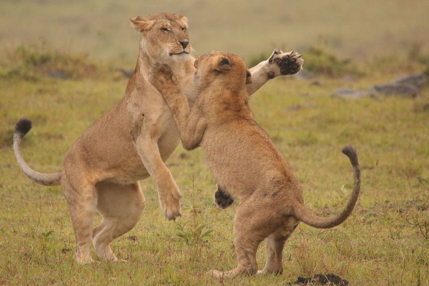Lion Cubs Playing Animal Themes Animal Wildlife Animals In The Wild Day Focus On Foreground Grass Lion - Feline Lioness Mammal Nature No People Outdoors Togetherness Two Animals