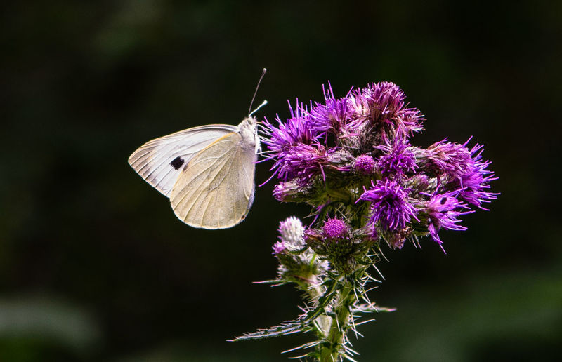 Cabbage white on a purple flower. Taken at Bradfield Woods, Suffolk, UK CABBAGE WHITE Animal Themes Animal Wildlife Animals In The Wild Beauty In Nature Butterfly Butterfly - Insect Butterfly Collection Butterfly On Flower Cabbage White Butterfly Close-up Flower Flower Head Flowering Plant Insect Insects  Invertebrate One Animal Plant Purple Purple Flower White Butterfly On Lavender
