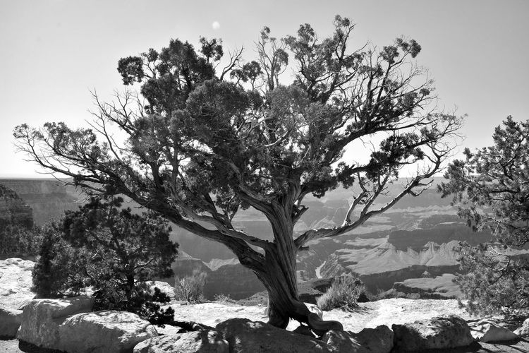 Black And White Grand Canyon Juniper Tree Mountain Nature No People Outdoors Sky Tree Lost In The Landscape