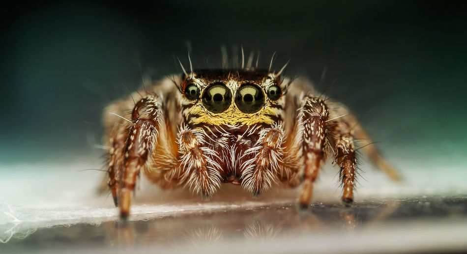 Macro shot of jumping spider