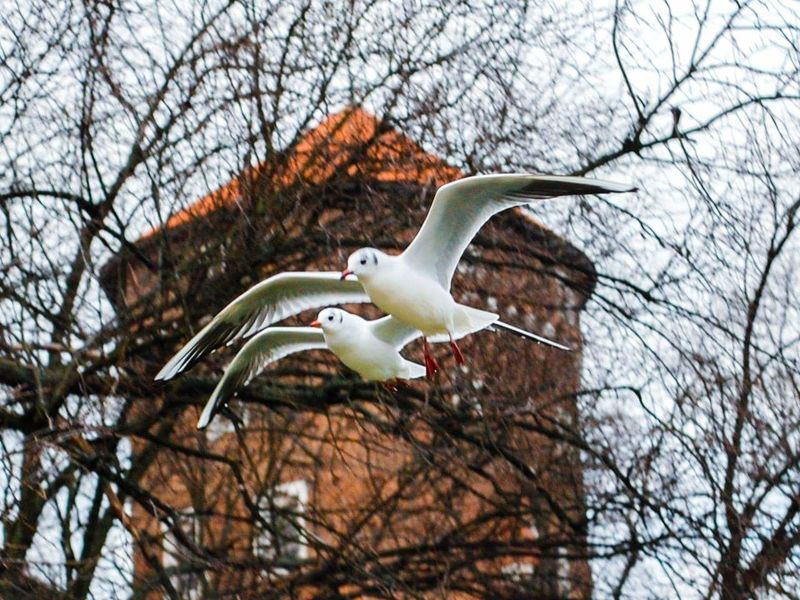 Flying Bird Nature Krakow,Poland Nature City Seagulls In The City