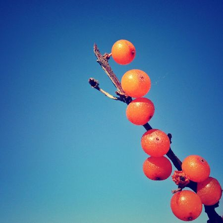 Adventure in the Mountain of Stone Columns. 14. Sea-buckthorn. Ying County Shanxi Province Adventure Plants Clear Sky Berry Clarity Smart Simplicity