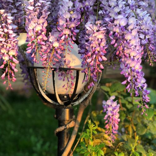Flowering Plant Flower Plant Fragility Vulnerability  Freshness Beauty In Nature Day Nature Focus On Foreground No People Purple Springtime Flower Head Outdoors Close-up Hanging Growth Pink Color Petal