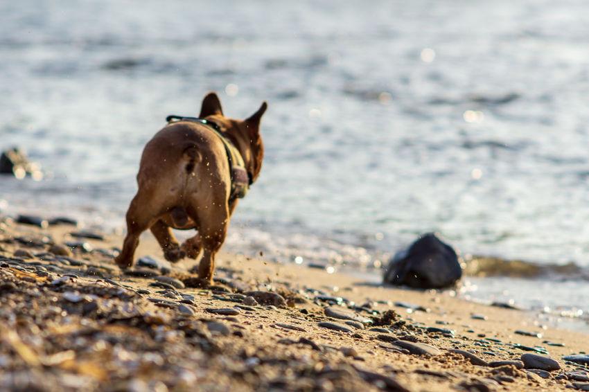 Französische Bulldogge  Hundefotografie Tierfotografie Dogs Of EyeEm EyeEm Selects Hundeportrait EyEmselect Düsseldorf Hunde Butsosexy Dogs Dogs Life Twerk #hundefoto Pets Sea Beach Water Dog Sand Portrait Wave Animal Themes
