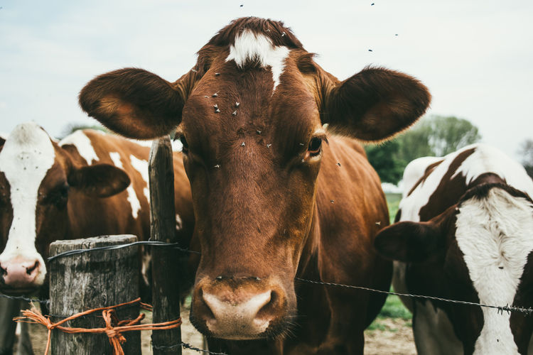Close-up of cow standing on field against sky