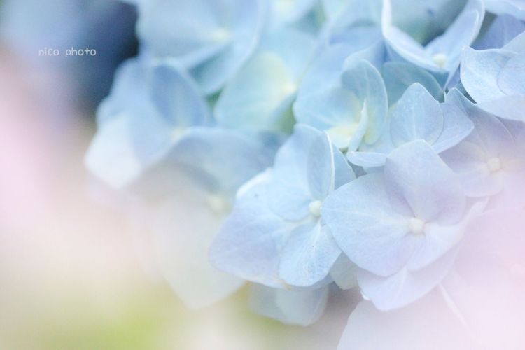 Hydrangea あじさい 紫陽花 ふんわり 前ボケ Bokeh Flower Porn Flowers, Nature And Beauty Flower Photography Flower Collection Bokeh Photography Flowers Of EyeEm EyeEm Flower EyeEm Selects EyeEmBestPics EyeEm Best Shots Flower Flowering Plant Beauty In Nature Plant Inflorescence Petal Close-up Flower Head Nature