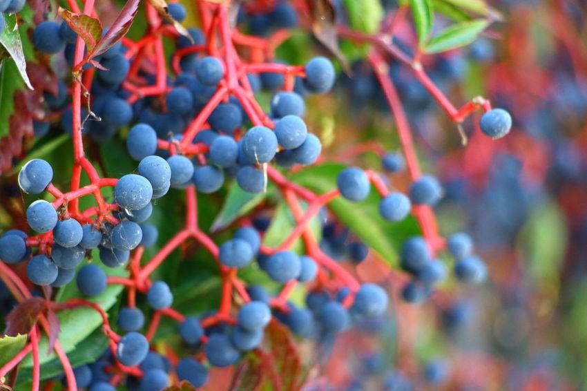 Parthenocissus Grape Berry Park Garden Plant Beauty In Nature EyeEm Nature Lover Warszawa  Warshaw Nature Beauty