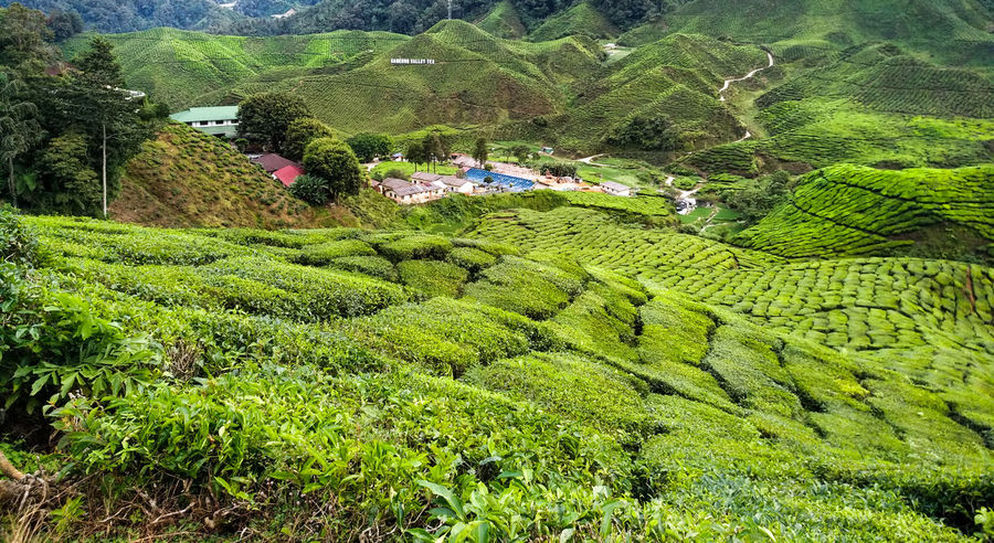 Agriculture Beauty In Nature Crop  Environment Farm Field Green Color Growth Land Landscape Lush Foliage Mountain Nature No People Outdoors Plant Plantation Rural Scene Scenics - Nature Tea Crop Tea Leaves Tranquil Scene Tranquility Tree