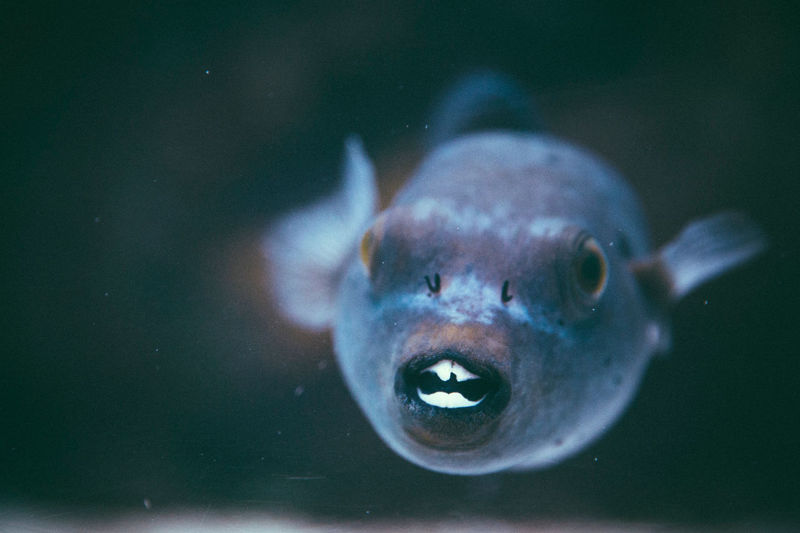 Close-up of fish swimming underwater.  tropical saltwater triggerfish