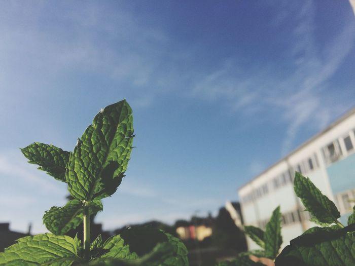 Mints growing on field against blue sky