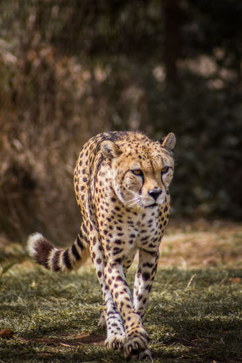 Africa Animal Animal Themes Animals In The Wild Cheetah Cheetah Day Feline Leopard Mammal Nature No People One Animal Outdoors Portrait Safari Safari Animals Spotted Walking