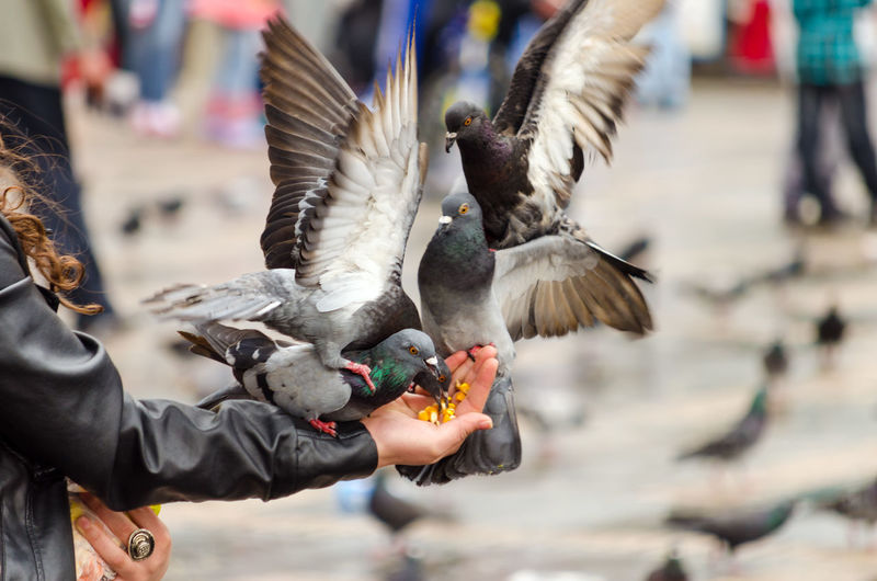 Cropped hand feeding pigeons