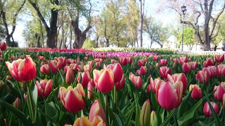 Blooming Tulips Tulip Flower Beauty In Nature Flower Head Springtime In Bloom First Eyeem Photo